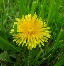 Dandelions for fun or food